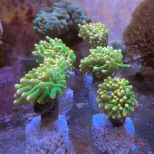 Euphyllia glabrescens green torch yellow tips lps cip e ciop acquariologia
